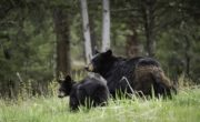 a black bear and her cub in a field foraging on grass