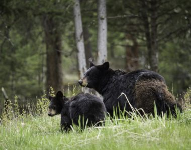 Preventing Bears from Visiting Your Community