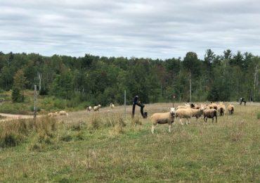 Vegetation Management Using Sheep